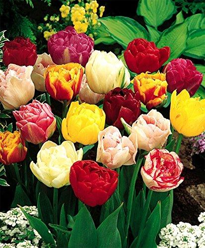 (24 Double Mixture - Double Tulip Bulbs)