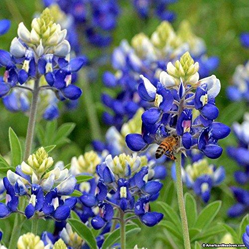 David's Garden Seeds Flower Bluebonnet Texas Native SL30055 (Blue) 100 Non-GMO, Open Pollinated Seeds