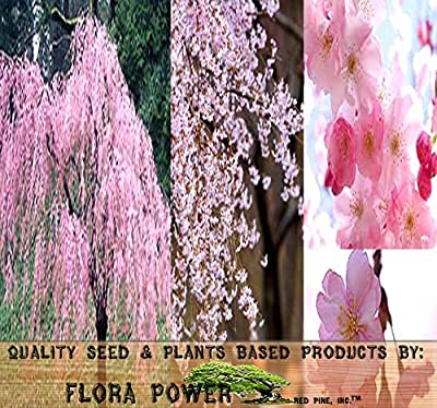 JAPANESE Weeping Cherry Tree Seed - Prunus subhirtella pendula Seeds - Tree Seeds from Flora Power by Red Pine, Inc.