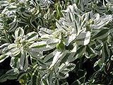 Euphorbia marginata Spurge Flower Seeds from Ukraine