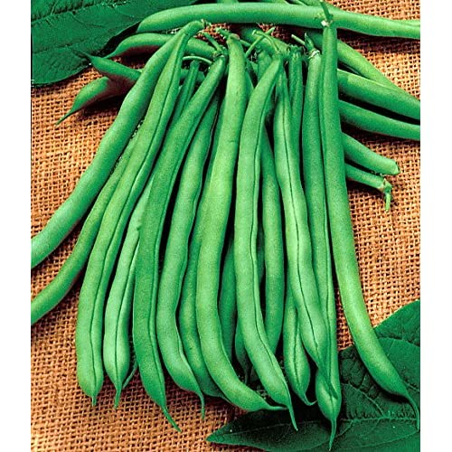 """Blue Lake"" Organic Pole Bean Seeds"