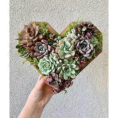 AchmadAnam - Live - Heart Shaped Living Succulent Arrangement. E12 : Garden & Outdoor