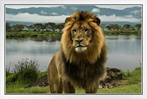 African Lion at Lake in Serengeti National Park Photo Photograph White Wood Framed Poster 20x14
