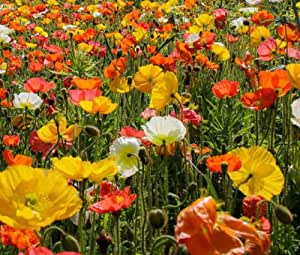 ICELAND POPPY Papaver Nudicaule - 100,000 Bulk Seeds