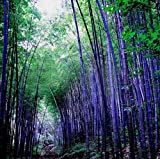 Rare Purple Bamboo Seeds, Lucky