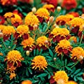 50 Tiger Eye French Marigold Seeds