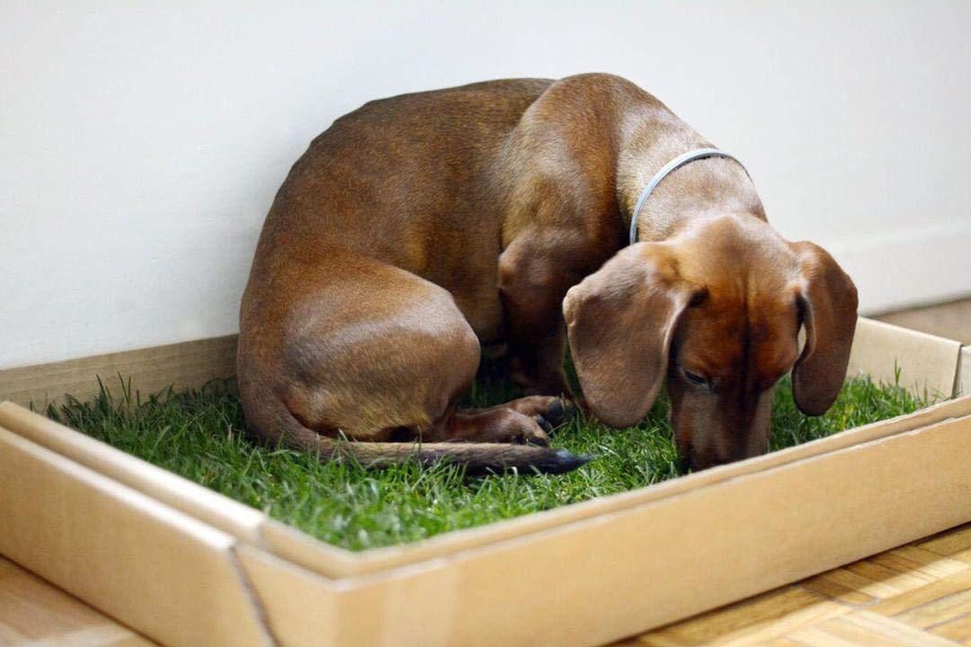 instintiva e inolora a los empapadores para Hacer PIS en casa de Mascotas. c/ésped Natural para Perros: Primera Alternativa Natural PetGround ecol/ógica