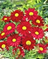 ASTONISH Seeds Package: 100+Chrysanthemum Robinson'S Red Seeds Bright Red Painted Daisy Garden/Container