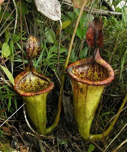 (Nepenthes *Ambizu*) Nepenthes Seeds Multiple Varieties of Hybrid Bonsai Plants Seeds for Home & Garden Flowers and Herbs Carnivorous Plants