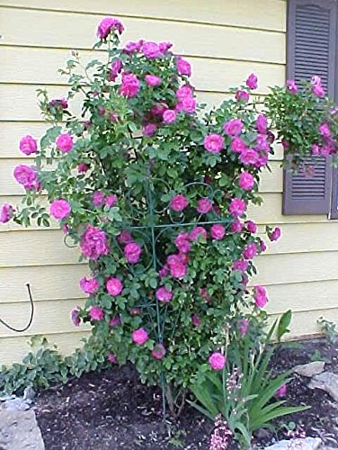 5 PURPLE CLIMBING ROSE Rosa Bush Vine Climber Fragrant Butterfly Flower Seeds Seedville USA