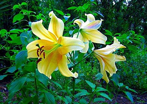 (Honeymoon Oriental Trumpet Lily - 3Bulbs 18/20 cm - Yellow/Gold)