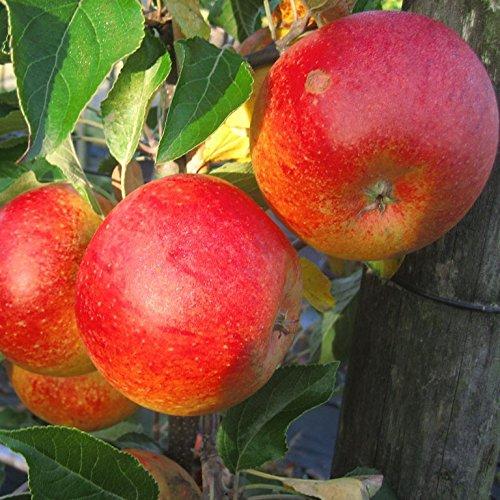 Cox Orange, sehr aromatischer Winterapfel als Buschbaum ca. 120-150 cm, Unterlage: M 26
