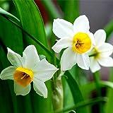 KAYI Semillas de bulbos de narcisos Semillas de flores Botes de doble bola Dormitorio Planta verde en maceta Bonsai Jardín de su casa Plantación