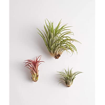 Shop Succulents | Assorted Collection of Live Air Plants, Hand Selected Variety Pack of Air Succulents | Collection of 3 : Garden & Outdoor