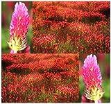 1,000 FRENCH CRIMSON CLOVER Seeds - Nectar Source for Honey Bees - BULK Trifolium Incarnatum ~ FRAGRANT FLOWERS by MySeeds.Co
