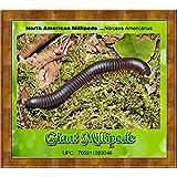 LIVE Giant Millipede (Narceus Americanus) Educational & Fun