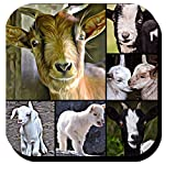Adorable Baby Goats Photo Collage Decorative Beverage Coasters set of 6