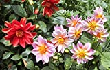 25 Pink and Red Dwarf Dahlia Seeds - My Secret Gardens