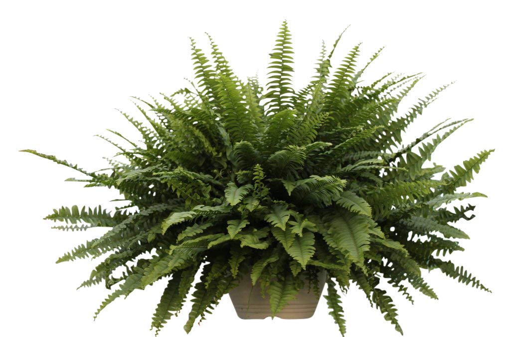 Indoor Plant - Nephrolepsis- Boston Fern -House Plant in a Hanging Pot Olive Grove