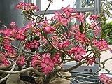 Live Red Desert Rose Plants 1 Gallon Flowering Now!!!