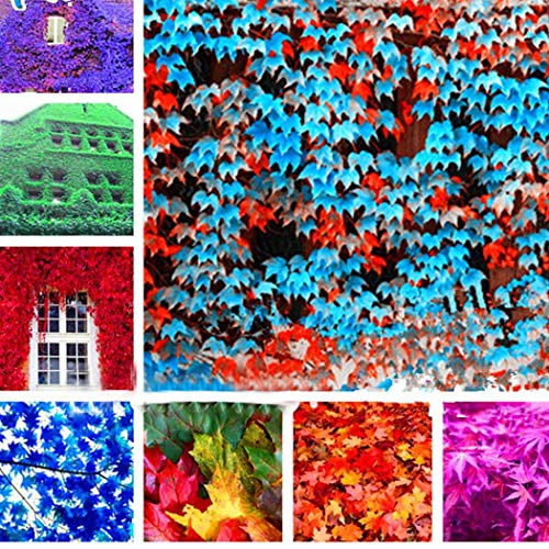 Dongdongole Garden- Rare Colorful Ivy Parthenocissus Seeds (Wild Wine) Garden Climbers Anti-Radiation Outdoor breeding Decor Seed Hardy