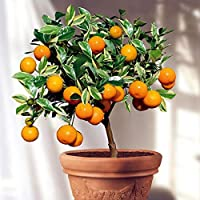 The Bonsai Plants Exclusive Orange Bonsai Live Plant -Fruit Bonsai Plant - Great Quality Orange