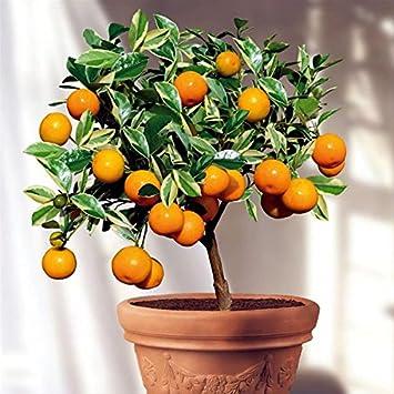 M-Tech Gardens Exclusive Orange Bonsai Live Plant -Fruit Bonsai Plant - Great Quality Orange