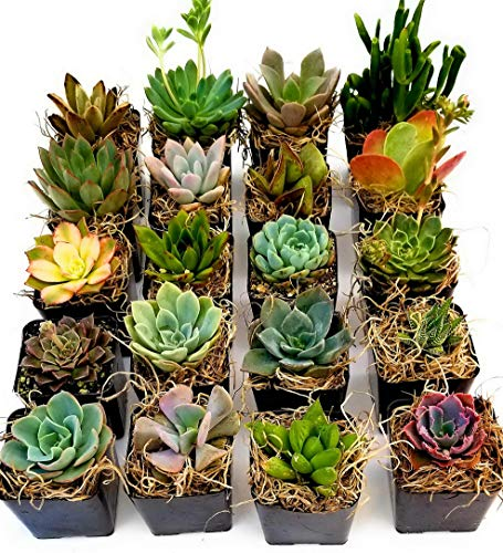 - Kaputar Succulent Plants in Planters with Soil - Living Succulents in 2 Inch Plastic Pots Variety Packages | Model WDDNG -893 | 2 Inch