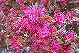Heirloom 5 Seeds Loropetalum Chinense Var. Rubrum 'Daruma' Exotic Bonsai Rare Plant Seed