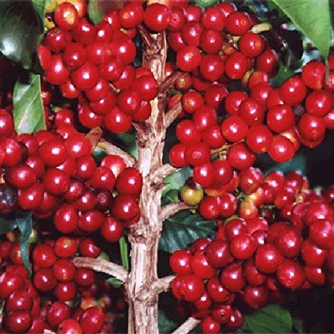 ARABIAN COFFEE Coffea arabica 10 seeds