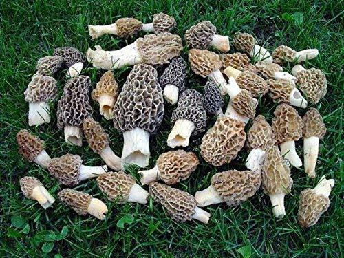 Morel Mushroom Spores in Sawdust Mushroom Seed Spore Grow Kit From WV