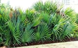 1 Bare Root of Saw Palmetto Palm Tree