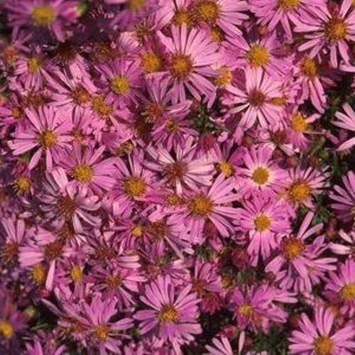 Aster Wood Pink - 1