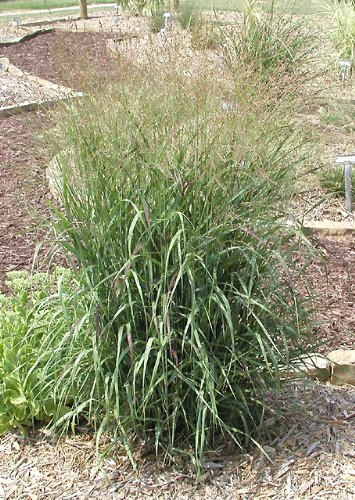 2 Shenandoah Grass in 4 Inch Containers/ Red Switch Grass-- 2 Four in Containers with a Grass Plug in Each. ()