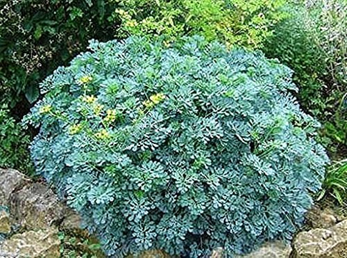 (500 RUE SEEDS,HERB OF GRACE ,COMMON RUE (Ruta graveolens) Organic!)