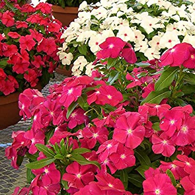 Flower Seeds Vinca rosea Periwinkle pink MIX from Ukraine : Garden & Outdoor