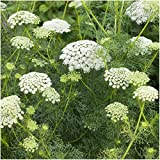 Package of 800 Seeds, Bishop's Flower (Ammi majus) Open Pollinated Seeds by Seed Needs
