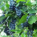 BRIGHTWELL Rabbiteye Blueberry Shrub- One of The Most Reliable Blueberries.Good for Baking and Fresh Eating