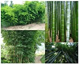GIANT BAMBOO seeds - 100 Seeds/bag - Grows 8 to 10 meters in record speed - well suited as visibility or wind protection in the garden
