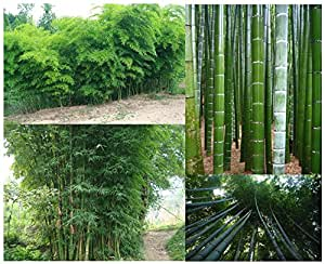 giant bamboo seeds seeds bag grows. Black Bedroom Furniture Sets. Home Design Ideas