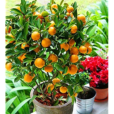 Kasuki Big Sale!10 pcs Bonsai Orange Plants NO-GMO Mini Bonsai Tree Balcony Patio Potted Fruit Trees Kumquat Garden Tangerine Citrus, # : Garden & Outdoor