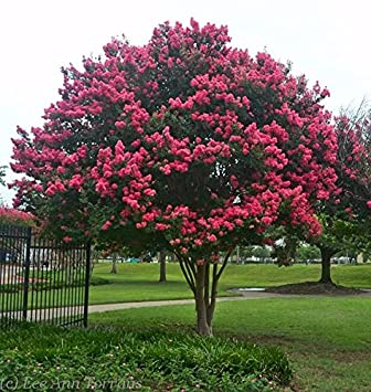 Amazon tuscarora dark pink crape myrtle tree live plant tuscarora dark pink crape myrtle tree live plant full gallon pot mightylinksfo