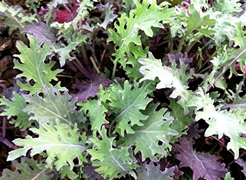 Red Russian Kale Seeds Sizes to 5LB Easy Grow Microgreen or Garden 330 (60K seeds, or 1/2 LB)