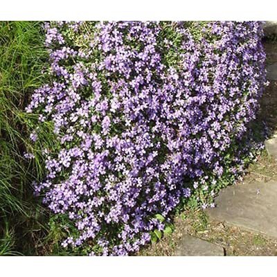 AUBRIETA ROCK CRESS PALE BLUE Aubrieta Hybrida Graeca - 100 Seeds : Garden & Outdoor