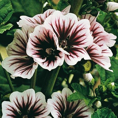 Plant Mallow (ZEBRA MALLOW Seeds - Malvaceae Musk Mallow - Attracts Hummingbirds - 50+ Seeds)