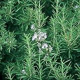 "Burpee Rosemary 3 Live Plants, 2 1/2"" Pot"