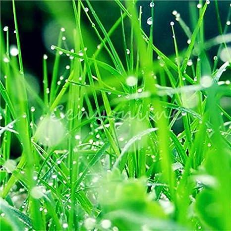 semillas de plantas de follaje de hierba de trigo, semillas de hierba de gato, semillas de trigo, alrededor de 200 partículas: Amazon.es: Jardín