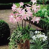 1 Jumbo 24/228cm Crinum 'Powellii Summer Amaryllis Flower Bulb