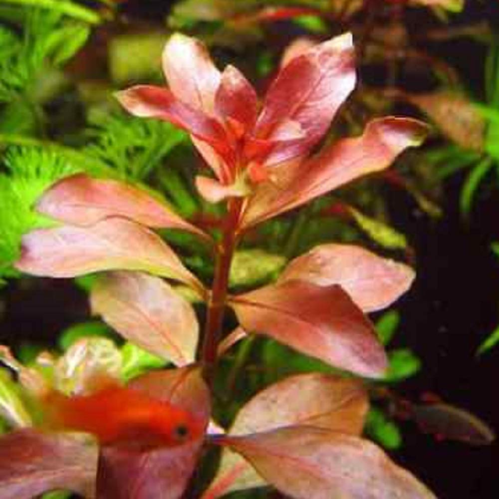 50 Ludwigia Repens Red Live Aquarium Plants Bunch Freshwater #RAB by Pappermint Store