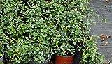 Trachelospermum asiaticum 'Minima', Asiatic Jasmine - 1 Gallon Live Plant - 4 pack